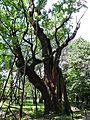 090716 - Mieszko Oak - 01.jpg