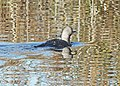 092 - PACIFIC LOON (1-5-10) oso flaco, slo co, ca (3) (8721242000).jpg