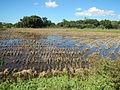 09676jfLandscapes Grasslands Plaridel Bypass Road Bonga Menor Bustos Bulacan Villagesfvf 09.JPG