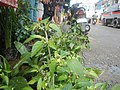 0998Ornamental plants in the Philippines 29.jpg