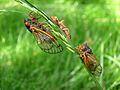 17-Year Periodical Cicada - Brood XIII (Magicicada sp.) - Flickr - Jay Sturner (8).jpg