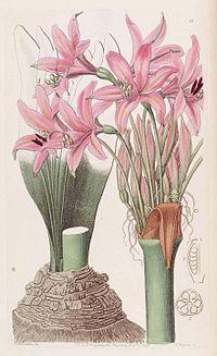 1842 Brunsvigia grandiflora