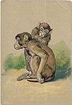 1905-scimmia-03.jpg