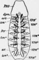 1911 Britannica-Arachnida-Buthus occitanus.png