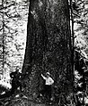1945. Author Stewart Holbrook and Axel Brandstrom (USFS). World's largest Douglas-fir, Klootchie Creek area. Clatsop County, Oregon. (34980167746).jpg