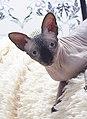 1 adult cat Sphynx. img 043.jpg