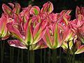 20090501-03 Tulpenweekend Nederland (0014).jpg