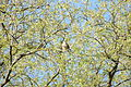 2010-04-18 (8) Turmfalke, common kestrel, Falco tinnunculus.JPG