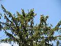 20130821 Picea abies.jpg