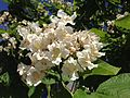 2014-06-12 10 45 17 Catalpa speciosa flowers in Winnemucca, Nevada.JPG