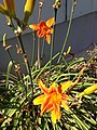 2014-08-02 10 35 03 Daylilies in Elko, Nevada.JPG