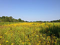 2014-08-27 16 09 38 A field filled with yellow flowers along the Meadow-Pond Trail in the Stony Brook-Millstone Watershed Association, New Jersey.JPG