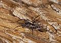 2014.09.20.-11-Kaefertaler Wald-Mannheim--Wolfspinne-Xerolycosa nemoralis-Weibchen.jpg