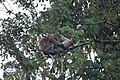 2014 Borneo Luyten-De-Hauwere-Proboscis monkey-01.jpg