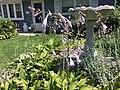 2015-07-20 12 20 30 Hosta flowers along Terrace Boulevard in Ewing, New Jersey.jpg