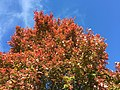 2015-11-11 12 46 39 Red Maple foliage during autumn at the intersection of Tranquility Lane and Tranquility Court in the Franklin Farm section of Oak Hill, Fairfax County, Virginia.jpg
