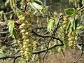 20150403Carpinus betulus2.jpg