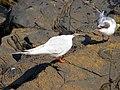 2016-08-17 Sterna dougallii, St Marys Island, Northumberland 06.jpg