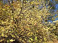 2016-10-25 10 37 14 American Witch-Hazel blooming at the Fishers Gap Overlook along Shenandoah National Park's Skyline Drive on the border of Page County, Virginia and Madison County, Virginia.jpg
