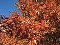 2016-11-12 15 23 43 Pin Oak autumn foliage in Franklin Farm Park in the Franklin Farm section of Oak Hill, Fairfax County, Virginia.jpg