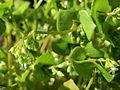 20160429Claytonia perfoliata2.jpg