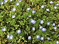 2017-03-28 15 22 51 Persian Speedwell along Tranquility Court in the Franklin Farm section of Oak Hill, Fairfax County, Virginia.jpg