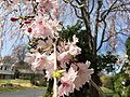 2017-04-05 13 33 46 Weeping Higan Cherry flowers along Folkstone Drive at Rock Manor Court in Oak Hill, Fairfax County, Virginia.jpg
