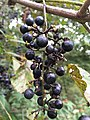 2017-09-14 18 14 35 Wild grapes ripening on the vine along Stone Heather Drive in the Franklin Farm section of Oak Hill, Fairfax County, Virginia.jpg