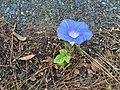 2017-10-25 16 09 48 Morning Glory flowering along Tranquility Court in the Franklin Farm section of Oak Hill, Fairfax County, Virginia.jpg