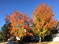 2017-11-10 15 10 25 Red Maple and Sugar Maple in late autumn along Kinross Circle near Kinbrace Road in the Chantilly Highlands section of Oak Hill, Fairfax County, Virginia.jpg