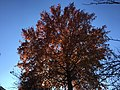 2017-11-23 13 44 56 A Pin Oak in late autumn along Kinross Circle in the Chantilly Highlands section of Oak Hill, Fairfax County, Virginia.jpg