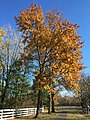 2017-11-23 13 58 53 Pin Oak in late autumn along Franklin Farm Road in the Franklin Farm section of Oak Hill, Fairfax County, Virginia.jpg