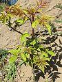20170409Ailanthus altissima1.jpg
