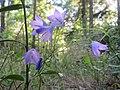 20170819Campanula rotundifolia2.jpg