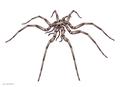 20201215 Palaeopantopus maucheri.png