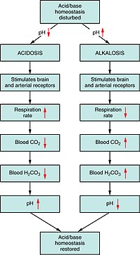 2714 Respiratory Regulation of Blood.jpg