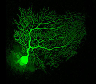 Cerebellum - A mouse Purkinje cell injected with fluorescent dye