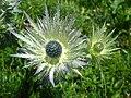 5687 - Schynige Platte - Eryngium alpinum.JPG