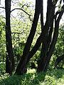 617683 A 683 Krakow Krzesławice Wankowicza 25 park w zespole dworsko parkowym 37.JPG