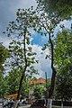 68-104-5025 Катальпа Кам'янець-Подільський (5).jpg