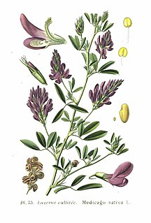 Alfalfa species of plant, alfalfa