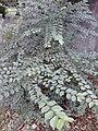 AZ0118. Ulmus minor. Ravelston Park, Edinburgh (01).jpg