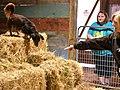 A Dachshund Barn Hunting.jpg