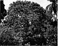 A Well-Grown Litchi Tree. This Is The First Litchi Tree Introduced Into The Hawaiian Islands, 1917.jpg