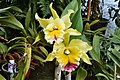 A and B Larsen orchids - Brassolaeliocattleya Greenwich Cover Girl 992-21.jpg
