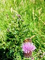 A bee, a thistle, a planet - Do ut des.jpg