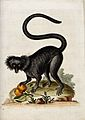 A black macaque with some fruit in its paw. Coloured etching Wellcome V0020555.jpg