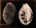 A durian (Durio zibethinus); an entire and sectioned fruit. Wellcome V0044772.jpg