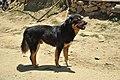 A free-ranging mountain dog.jpg