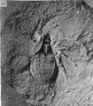 A monograph of the terrestrial Palaeozoic Arachnida of North America photos 47-52 49.png